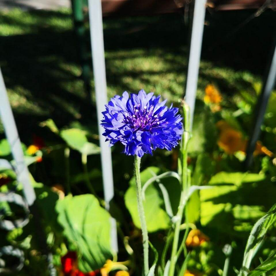 Feature image of Cornflower