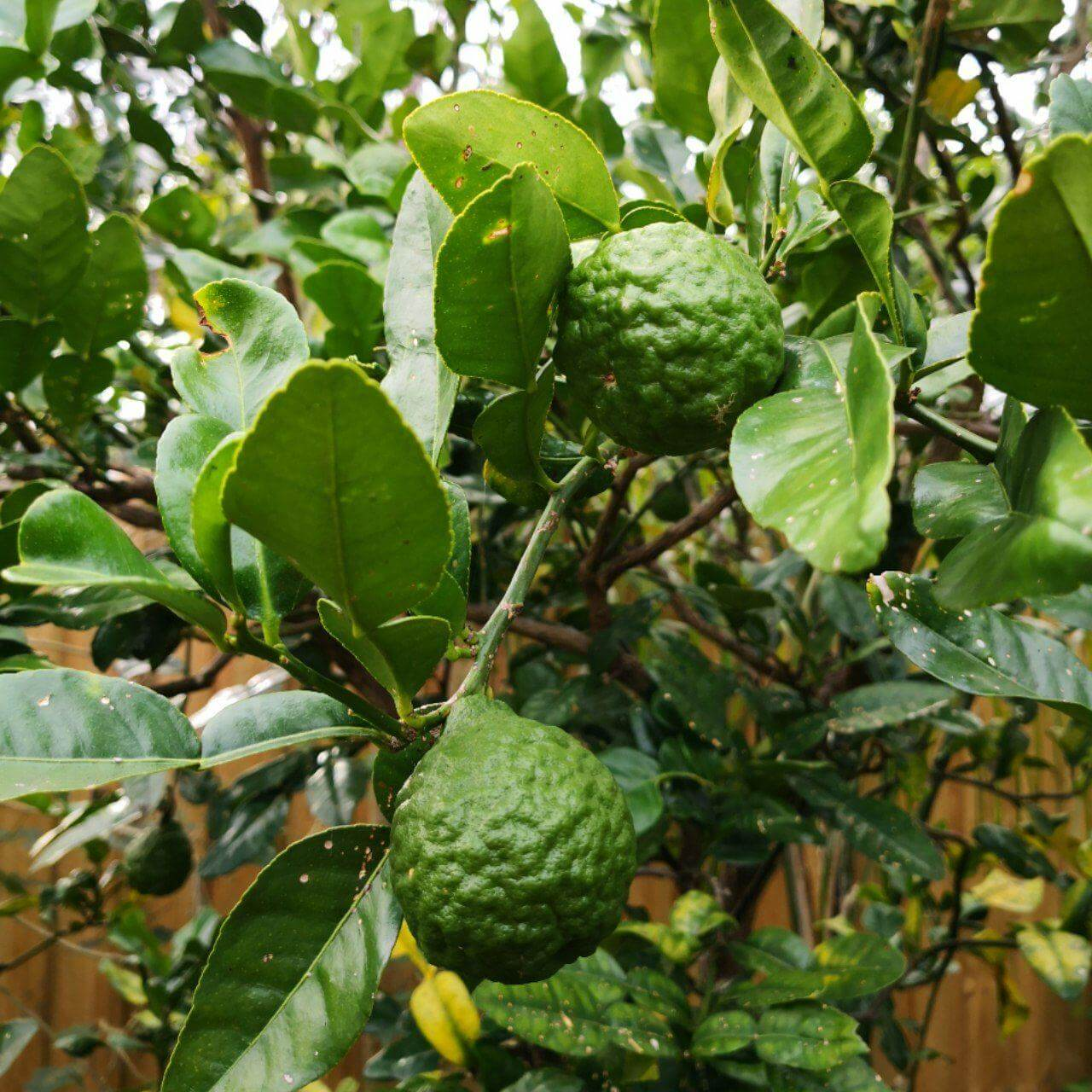 Feature image of Kaffir Lime