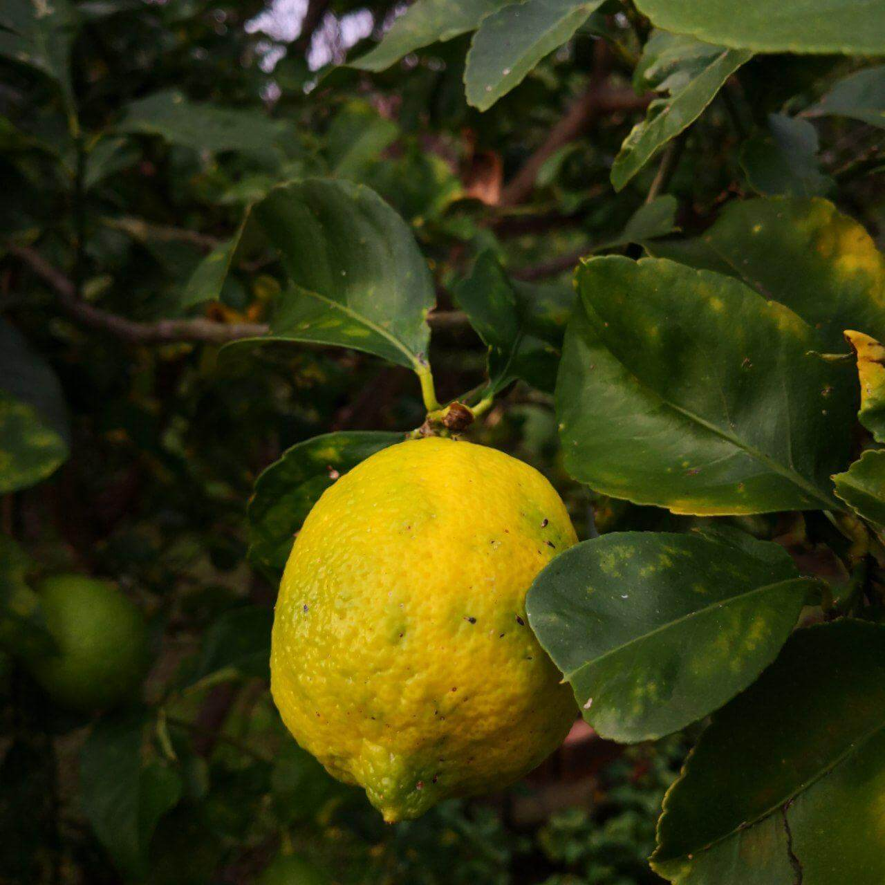 Feature image of Lemon