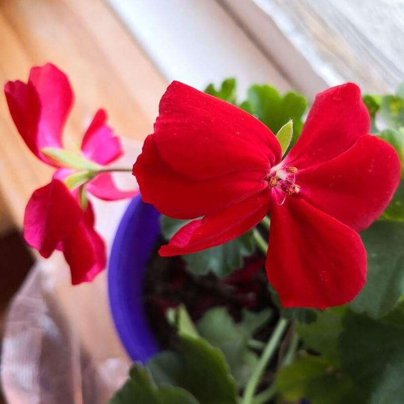 Feature image of Geranium (Red)