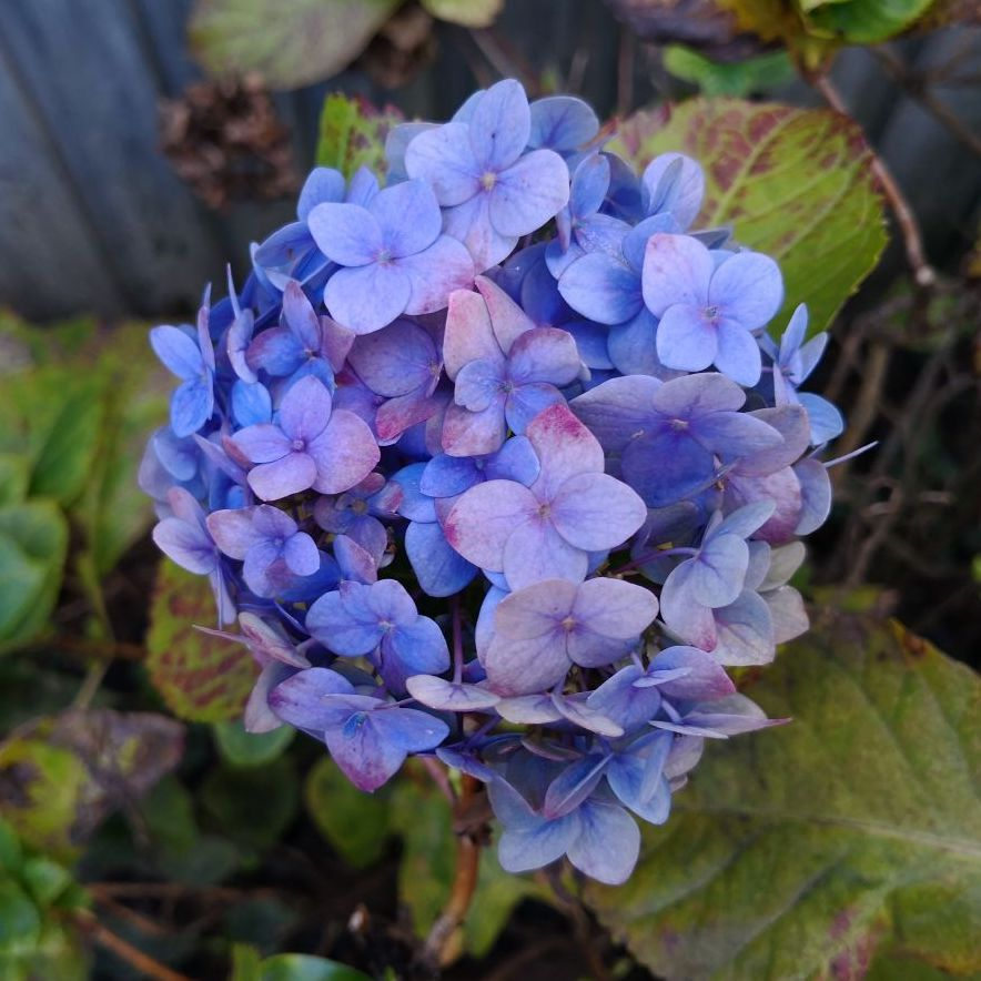 Feature image of Hydrangea