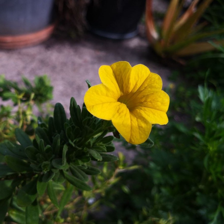 Feature image of Petunia (Yellow)