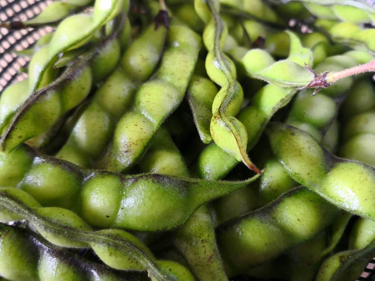 Photo Gallery Image of Pigeon Pea