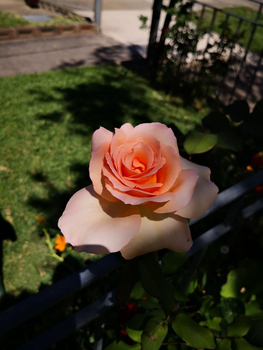 Photo Gallery Image of Rose (Apricot)