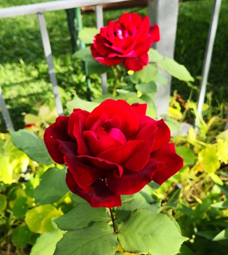 Photo Gallery Image of Rose (Papa Meilland)