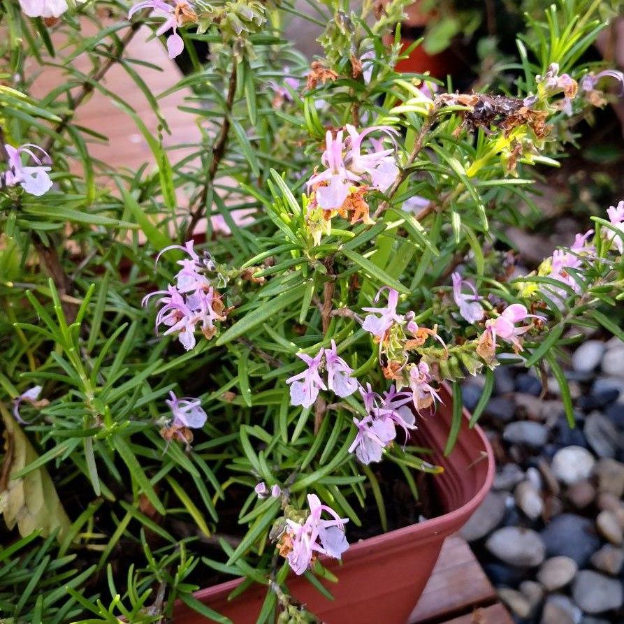 Pink Rosemary