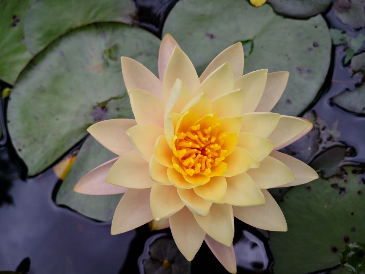 Photo Gallery Image of Water Lily